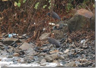 160829006 海岸で休息するクロサギ2羽(鵲)