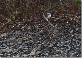 160829007 海岸で休息するキアシシギ4羽