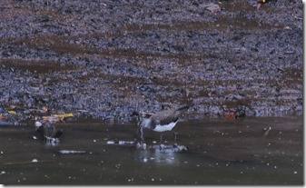 160829008 山中のため池で採食中のクサシギ(鵲)