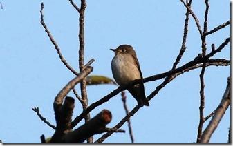 160908001 桜の林で見かけたコサメビタキ(鵲)