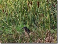 160908003 畦でジーッとしていたゴイサギ(鵲)
