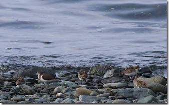 160908006 トウネンの群れとイソシギ(鵲)