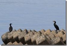160908007 海岸で見かけたカワウ・イソヒヨドリ・ハクセキレイ(鵲)