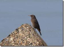 160908008 海岸で見かけたカワウ・イソヒヨドリ・ハクセキレイ(鵲)
