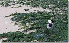 160908009 海岸で見かけたカワウ・イソヒヨドリ・ハクセキレイ(鵲)
