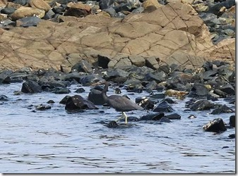 160908010 海岸で採餌するクロサギ1羽(鵲)