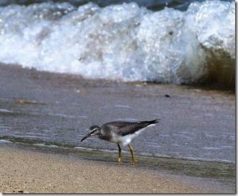 160908011 砂浜の波間で採餌するキアシシギ1羽