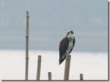 160908012 海面上の竹杭で休息中のミサゴ(鵲)