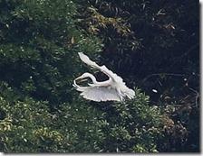 160908014 海岸傍の樹上で休息するアオサギ、飛び出したダイサギ(鵲)