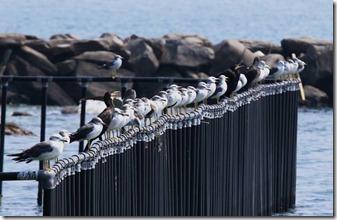 160908015 ウミネコとカワウの群れ(鵲)