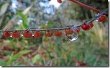 160908027 コミカンソウの実と水滴