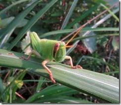 160908028 ツチイナゴ 幼虫