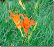160908034 ノカンゾウの花