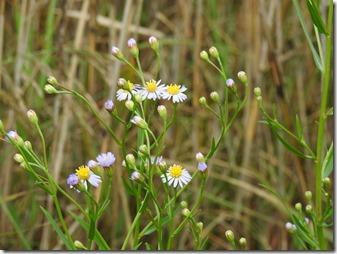161009004.ウラギク(ハマシオン)の花