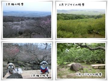 筑波山紫陽花 (800x600)