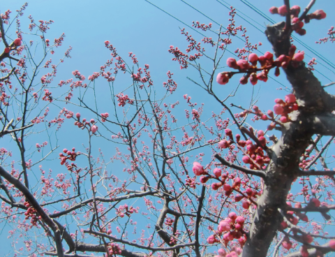 梅の蕾-3