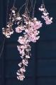 お花見13