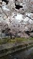 大和高田の桜