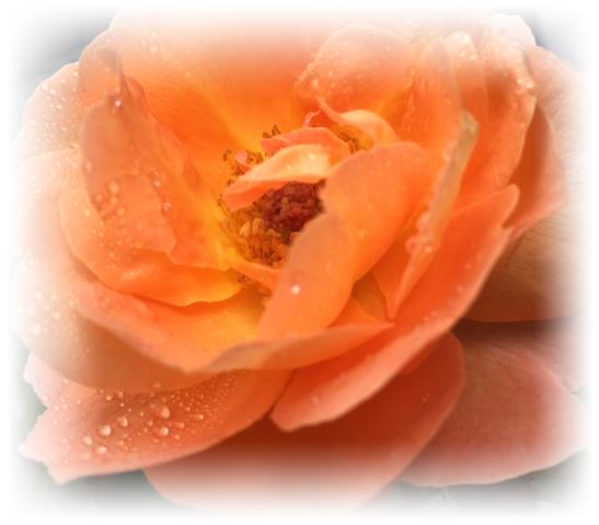 雨のバラ_5864