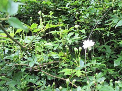 モッコウバラの開花