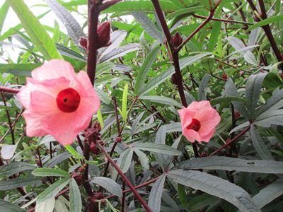 ローゼルの花