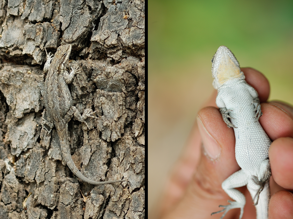 ハリトカゲ属-3 genus Sceloporus