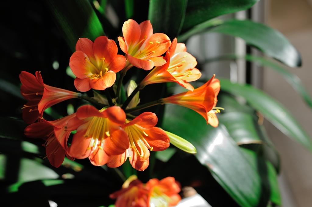 クンシラン(ウケザキウンシラン)Clivia miniata