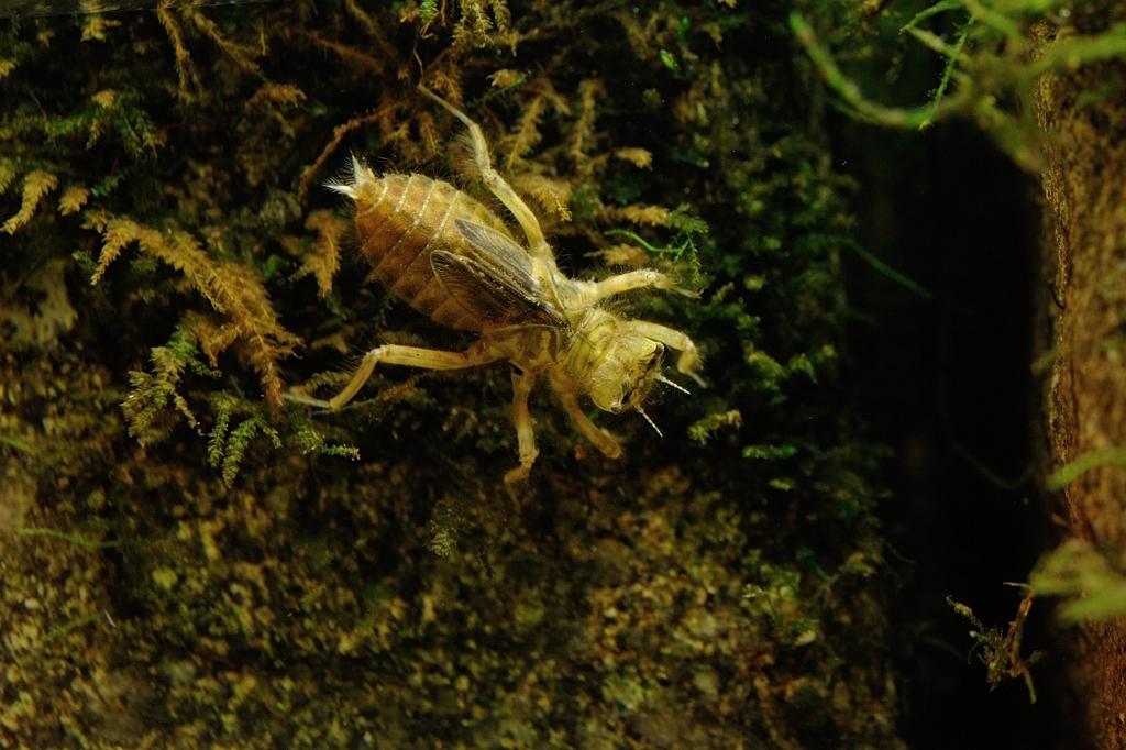 シオカラトンボ(ヤゴ) Orthetrum albistylum speciosum