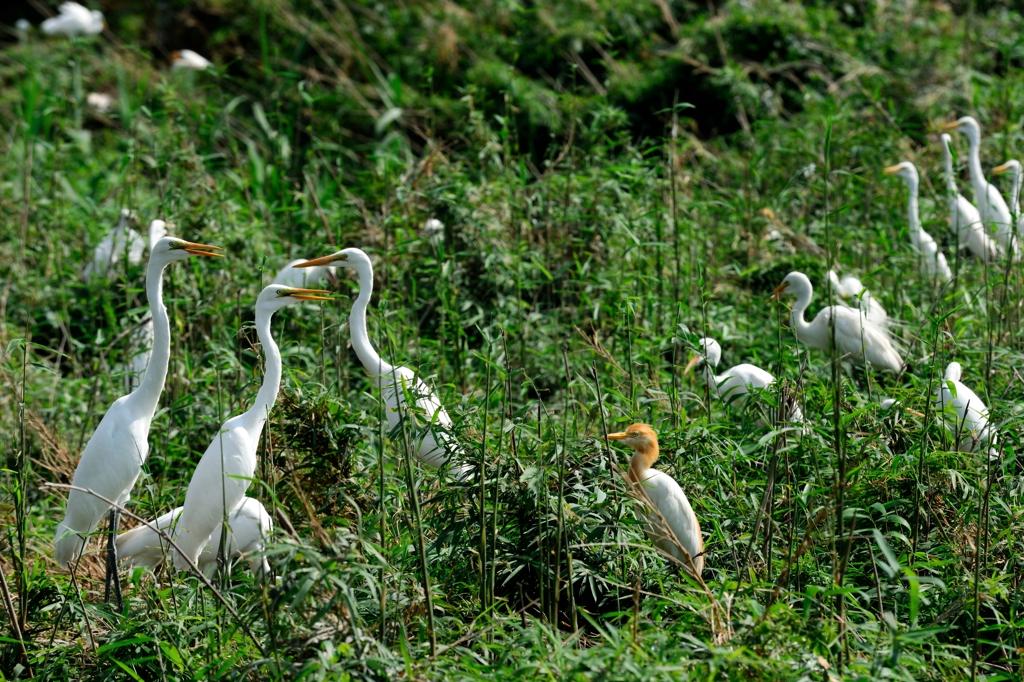 ダイサギ Ardea alba, アマサギ Bubulcus ibis