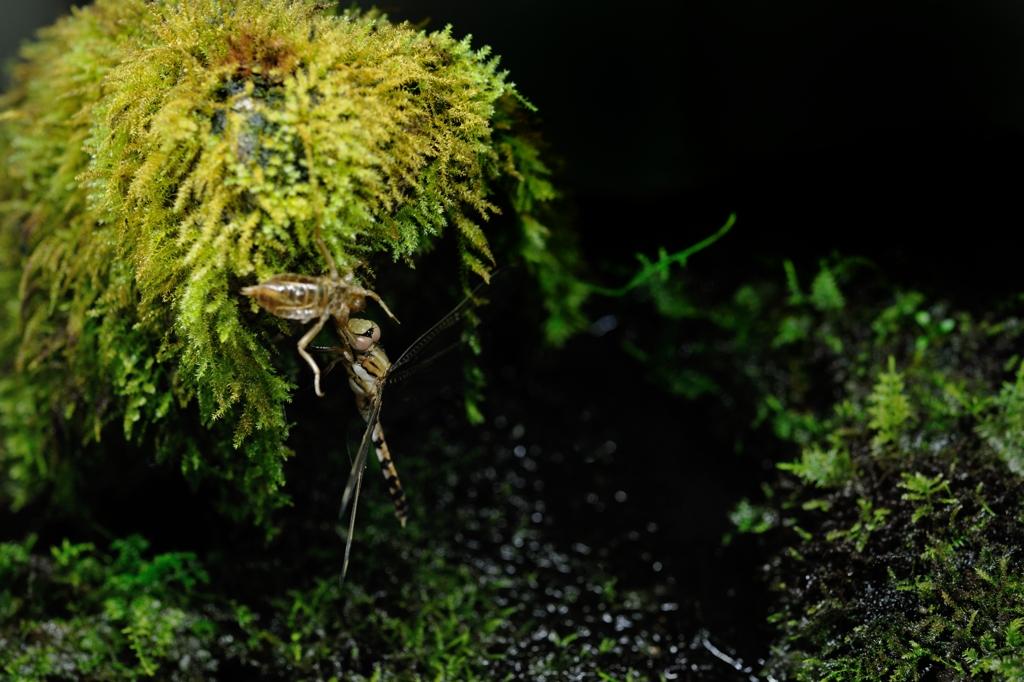 シオカラトンボ ♀ Orthetrum albistylum speciosum