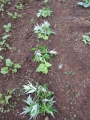 横の雑草2