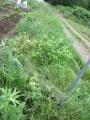 横の雑草1