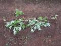 横の雑草3