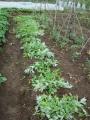 横の雑草4