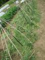 雑草を敷き藁に