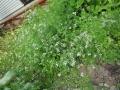 コリアンダー花