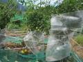 ミニトマトにスイカのプチ