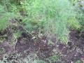 アスパラ草取り移植
