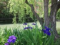 アヤメ咲く川のほとり