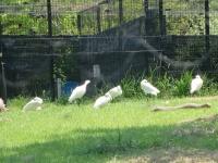 サギの集団