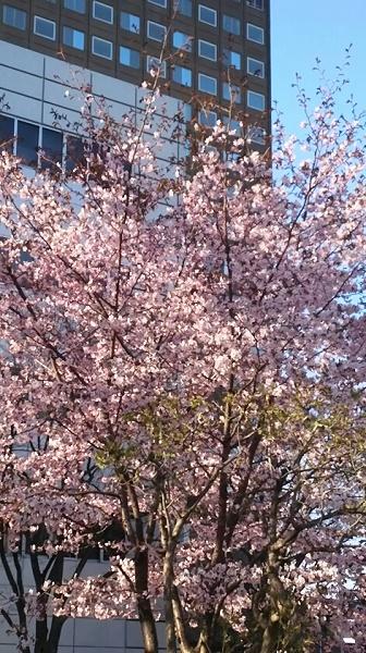 20160427用・たぶん桜である