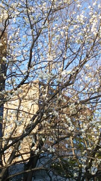 20160427用・たぶん桜でない