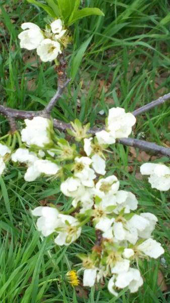 20160514用・白い梅