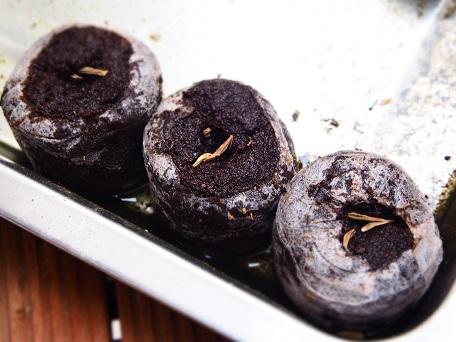 クイーンレッドライム種植え