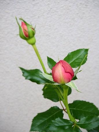 ローズポンパドゥール2016開花1