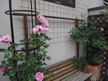 ローブアラフランセーズ2016開花5