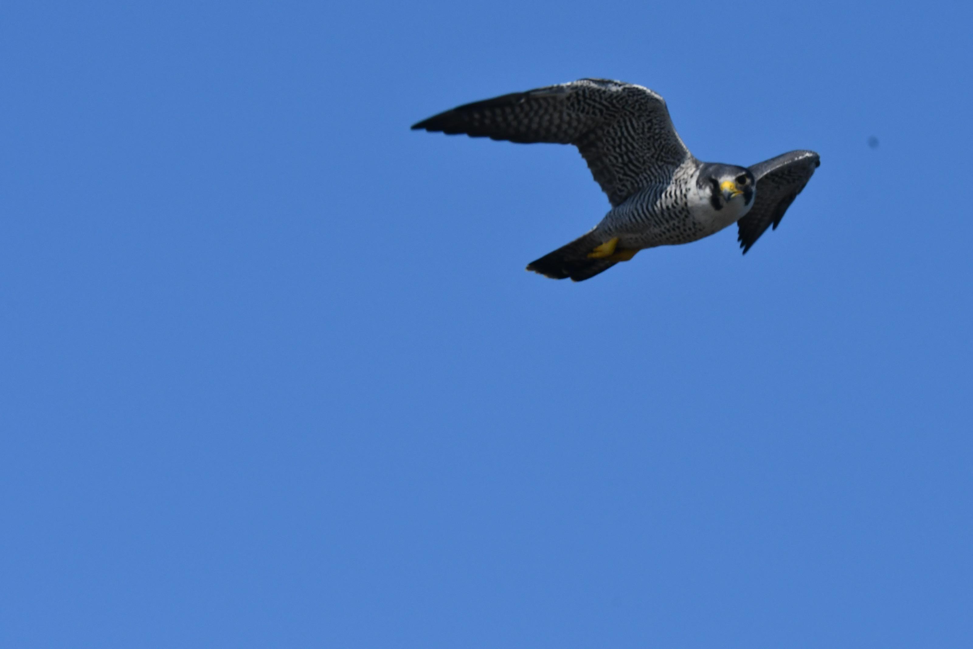 ハヤブサ 飛翔1