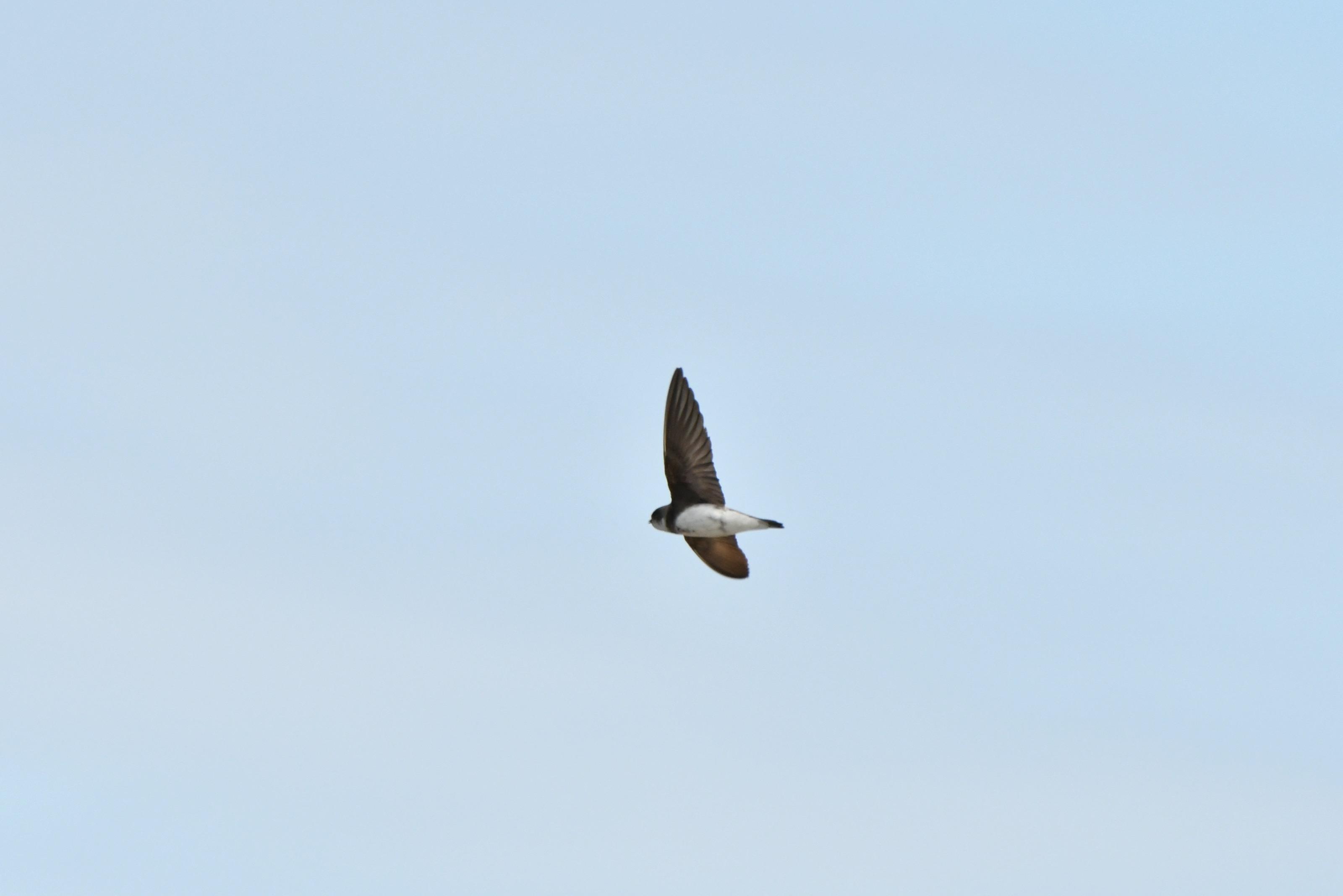 ショウドウツバメ 飛翔