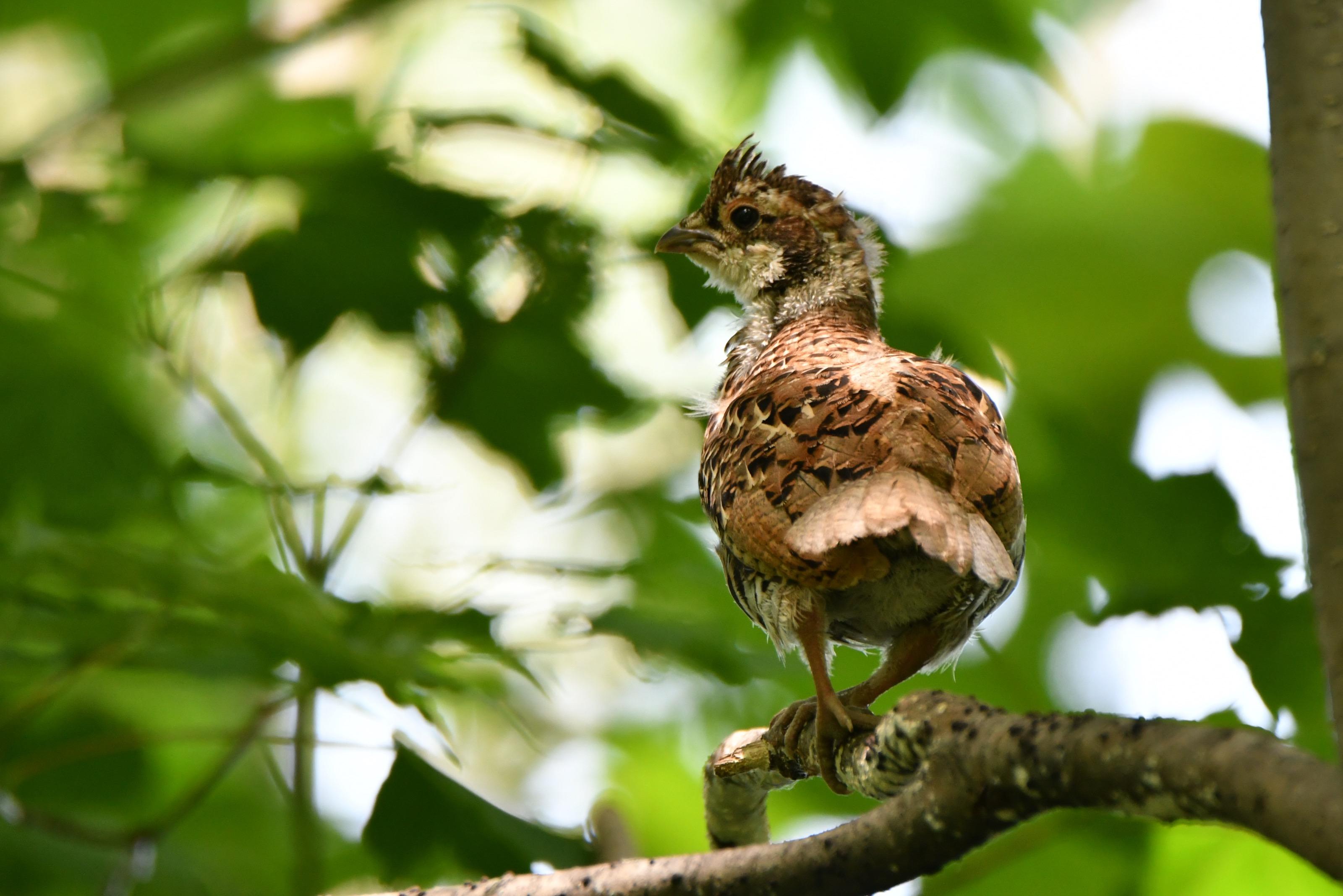 エゾライチョウ 巣立ち雛