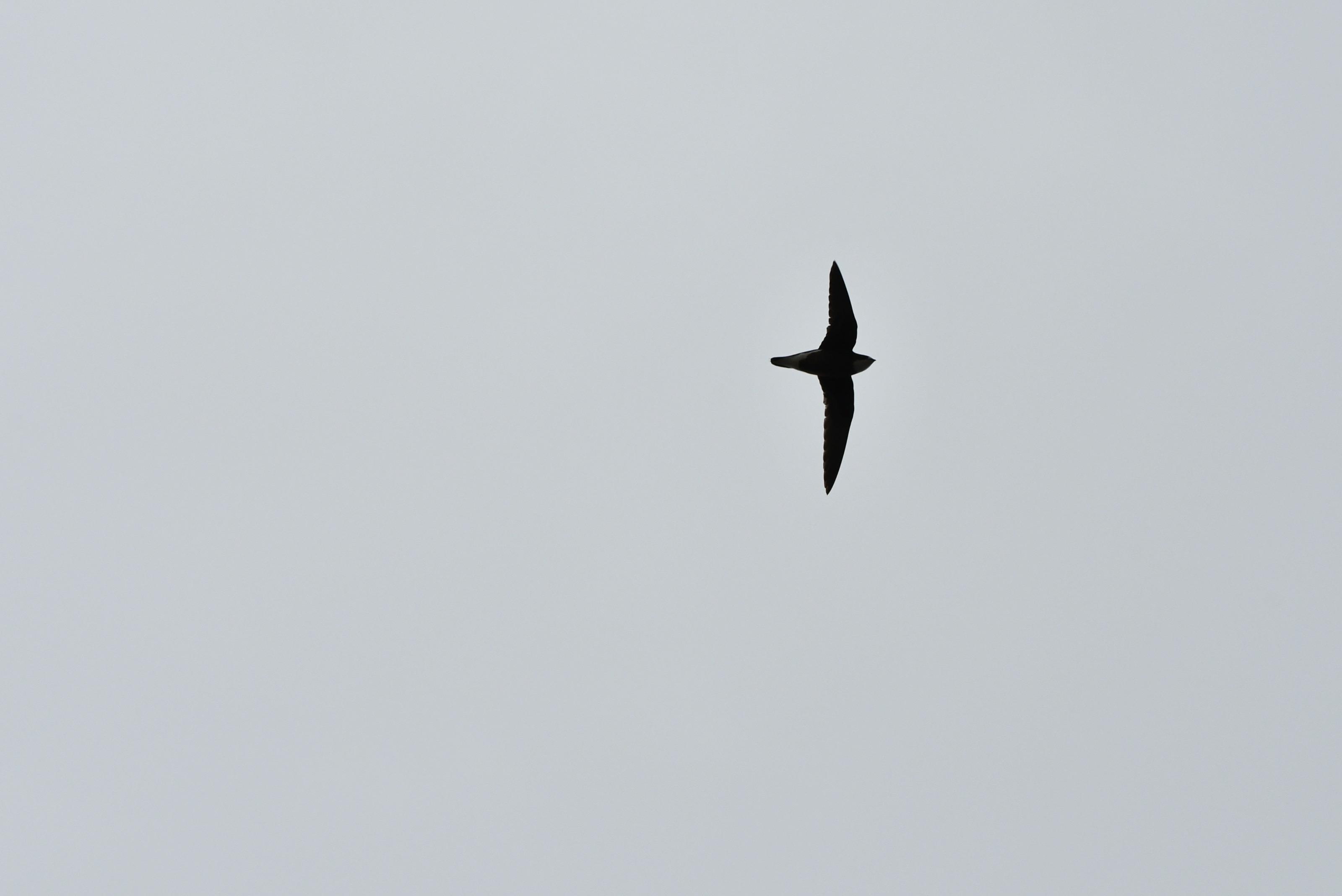 ハリオアマツバメの尾の針